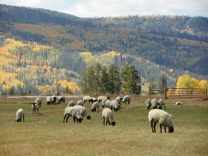 Suffolk Sheep are raised at Flying Horse Ranch